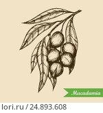 Macadamia nut branch. Hand drawn engraved vector sketch illustration. Vector illustration. Стоковая иллюстрация, иллюстратор Станислав Хомутовский / Фотобанк Лори