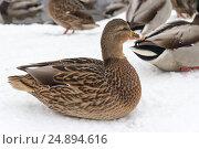 Купить «Дикая утка, зимующая в городе на пруду», фото № 24894616, снято 14 декабря 2016 г. (c) Татьяна Егорова / Фотобанк Лори