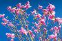 Magnolia tree. Pink flowers, фото № 24895112, снято 5 мая 2016 г. (c) Евгений Сергеев / Фотобанк Лори
