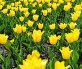 Красивое поле тюльпанов в весеннее время, фото № 24897976, снято 12 мая 2014 г. (c) Валерия Потапова / Фотобанк Лори