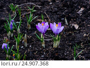 Купить «Первоцвет на проталине», фото № 24907368, снято 27 апреля 2009 г. (c) Дмитрий Тищенко / Фотобанк Лори