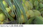 Купить «View of yellow green coconut in the bunch on coconut palm tree with huge leaves», видеоролик № 24908696, снято 3 ноября 2016 г. (c) Данил Руденко / Фотобанк Лори