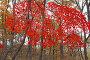 Осенний лес и красные листья, фото № 24908788, снято 7 ноября 2016 г. (c) Ольга Липунова / Фотобанк Лори