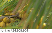 Купить «View of yellow green coconut in the bunch on coconut palm tree with huge leaves», видеоролик № 24908904, снято 3 ноября 2016 г. (c) Данил Руденко / Фотобанк Лори