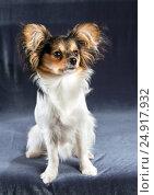 Купить «Portrait of a six months dog breed Papillon», фото № 24917932, снято 5 сентября 2016 г. (c) Сергей Лаврентьев / Фотобанк Лори