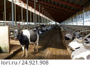 Купить «herd of cows in cowshed stable on dairy farm», фото № 24921908, снято 12 августа 2016 г. (c) Syda Productions / Фотобанк Лори