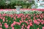 Красивые яркие  розовые и белые Тюльпаны в Сергиевой Лавре - Сергиев Посад, фото № 24931944, снято 19 мая 2016 г. (c) Артур Лукьянов / Фотобанк Лори