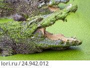Купить «Crocodile with open mouth in green slime», фото № 24942012, снято 9 января 2017 г. (c) Михаил Коханчиков / Фотобанк Лори