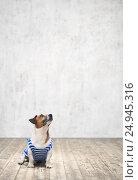 Купить «Jack rassell terrier», фото № 24945316, снято 8 ноября 2016 г. (c) Raev Denis / Фотобанк Лори