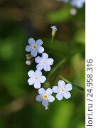 Flower Miosotis forget-me-not. Стоковое фото, фотограф Евгений Суворов / Фотобанк Лори