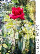 Vivid red rose with drops of dew on the petals. Стоковое фото, фотограф Екатерина Голубкова / Фотобанк Лори