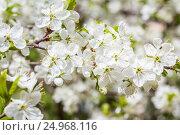 Весеннее цветение деревьев. Стоковое фото, фотограф Дмитрий Тищенко / Фотобанк Лори