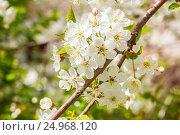 Яблоня в цветах. Стоковое фото, фотограф Дмитрий Тищенко / Фотобанк Лори