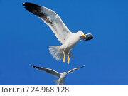 Белые чайки в синем небе. Стоковое фото, фотограф Светлана Булычева / Фотобанк Лори