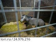 Купить «Пони в конюшне», фото № 24976216, снято 16 июля 2016 г. (c) AK Imaging / Фотобанк Лори
