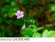 Купить «Flower chickweed, Cerastium», фото № 24976440, снято 13 июля 2016 г. (c) Дмитрий Тищенко / Фотобанк Лори
