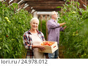 Купить «old woman picking tomatoes up at farm greenhouse», фото № 24978012, снято 25 августа 2016 г. (c) Syda Productions / Фотобанк Лори