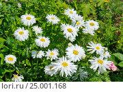 Купить «Махровые ромашки в саду», эксклюзивное фото № 25001168, снято 16 июля 2016 г. (c) Елена Коромыслова / Фотобанк Лори