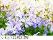 Купить «Flowers background photo. Phlox divaricata», фото № 25029288, снято 28 мая 2016 г. (c) EugeneSergeev / Фотобанк Лори