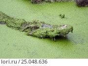 Купить «Crocodile with open mouth in green slime», фото № 25048636, снято 9 января 2017 г. (c) Михаил Коханчиков / Фотобанк Лори