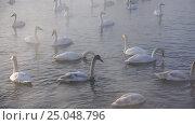 Купить «Лебединое озеро в Алтайском крае / Swans on Altai lake Svetloe in the evaporation mist at evening time in winter», видеоролик № 25048796, снято 25 января 2017 г. (c) Serg Zastavkin / Фотобанк Лори