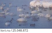 Купить «Лебединое озеро в Алтайском крае / Swans on Altai lake Svetloe in the evaporation mist at evening time in winter», видеоролик № 25048872, снято 25 января 2017 г. (c) Serg Zastavkin / Фотобанк Лори
