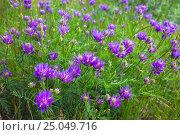 Купить «Purple wild flower on spring field», фото № 25049716, снято 12 июня 2014 г. (c) Олег Жуков / Фотобанк Лори