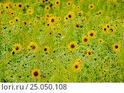Купить «Подсолнухи», фото № 25050108, снято 26 июля 2014 г. (c) Хайрятдинов Ринат / Фотобанк Лори