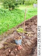 Купить «Freshly dug potatoes in metal bucket and shovel on the field in sunny day», фото № 25050472, снято 22 мая 2019 г. (c) FotograFF / Фотобанк Лори