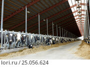 Купить «herd of cows eating hay in cowshed on dairy farm», фото № 25056624, снято 12 августа 2016 г. (c) Syda Productions / Фотобанк Лори
