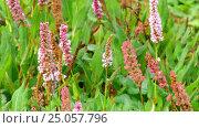 Купить «Persicaria affinis in family Polygonaceae», видеоролик № 25057796, снято 18 января 2017 г. (c) BestPhotoStudio / Фотобанк Лори