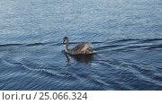 Купить «Wild swan in a lake in Stockholm, Sweden», видеоролик № 25066324, снято 26 декабря 2016 г. (c) Stockphoto / Фотобанк Лори