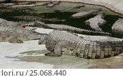 Купить «Scene with Big Crocodile», видеоролик № 25068440, снято 5 февраля 2017 г. (c) Владимир Журавлев / Фотобанк Лори