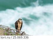 Купить «Bird of prey on the ocean, Australia», фото № 25069336, снято 7 января 2012 г. (c) Игорь Овсянников / Фотобанк Лори