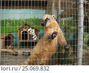 Купить «Геленджик, Сафари-парк, носуха держится лапами за секу», эксклюзивное фото № 25069832, снято 1 октября 2012 г. (c) Dmitry29 / Фотобанк Лори