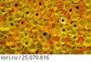 Купить «Цветки календулы, много, панорама из трех кадров», фото № 25070816, снято 5 июля 2016 г. (c) Gaft Eugen / Фотобанк Лори