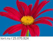 Купить «Красный пиретрум, крупно», фото № 25070824, снято 28 июня 2016 г. (c) Gaft Eugen / Фотобанк Лори