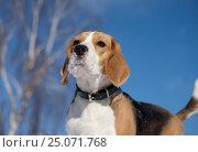 Beagle walking in winter day. Стоковое фото, фотограф Алексей Андросов / Фотобанк Лори