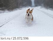 Beagle dog running in the snow. Стоковое фото, фотограф Алексей Андросов / Фотобанк Лори