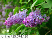 Купить «Lilac flowers in spring blossom», фото № 25074120, снято 17 мая 2016 г. (c) Зезелина Марина / Фотобанк Лори
