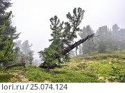 Купить «Сибирский кедр (Pinus sibirica) на фоне плотного тумана. Живые плодоносящие ветви на старом сухом стволе дерева», фото № 25074124, снято 4 августа 2016 г. (c) Виктор Никитин / Фотобанк Лори