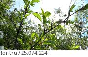Apple-tree flowers in the spring sun. Стоковое видео, видеограф Сергей Семенович Мальков / Фотобанк Лори