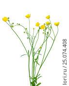 Купить «Meadow buttercup ( Ranunculus acris) flower», фото № 25074408, снято 2 июня 2016 г. (c) Надежда Нестерова / Фотобанк Лори