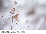 Купить «4 Season winter,abstract,arctic,beautiful,bleak,bokeh,botanical,botany,branch,brown,chilly,closeup,cold,cold temperature,cool,cool light,covered,crystal...», фото № 25076756, снято 17 декабря 2016 г. (c) mauritius images / Фотобанк Лори