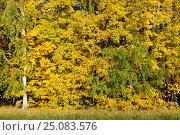 Купить «Yellow leaves of a linden», фото № 25083576, снято 25 сентября 2016 г. (c) Сергей Эшметов / Фотобанк Лори