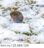 A lonely partridge. Стоковое фото, фотограф Ростислав Агеев / Фотобанк Лори