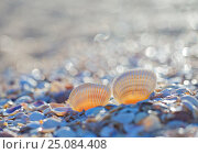 Seashell on the summer beach. Стоковое фото, фотограф Анна Костенко / Фотобанк Лори