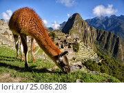 Купить «Лама на фоне Мачу-Пикчу. Перу.», фото № 25086208, снято 13 октября 2016 г. (c) AK Imaging / Фотобанк Лори