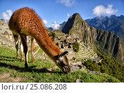 Лама на фоне Мачу-Пикчу. Перу. (2016 год). Стоковое фото, фотограф AK Imaging / Фотобанк Лори