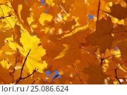 Желтые листья клена в октябре. Стоковое фото, фотограф Павел Бурочкин / Фотобанк Лори